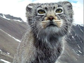 Manul, el gato siberiano en peligro de extinción