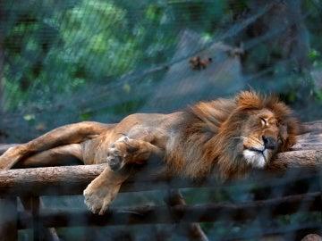 Un león en el zoológico de Caricuao