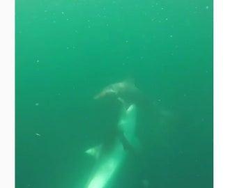 Pelea a muerte entre tiburones