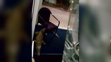 Utilizan cocodrilos para romper los cristales y entrar a robar en un colegio en Australia