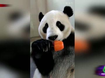 Así es el remedio contra el calor que encuentra este oso panda