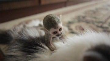 Un gato adopta un bebé mono rechazado por su madre en un zoo de Rusia