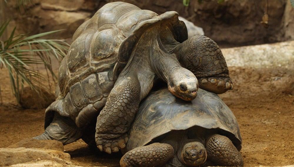 Diego, la tortuga que no para de tener relaciones sexuales