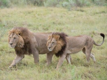 Leonas de Botswana
