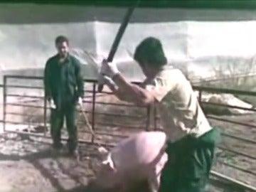 Un año de cárcel por matar a cerdos a golpes y espadazos en una granja de Murcia