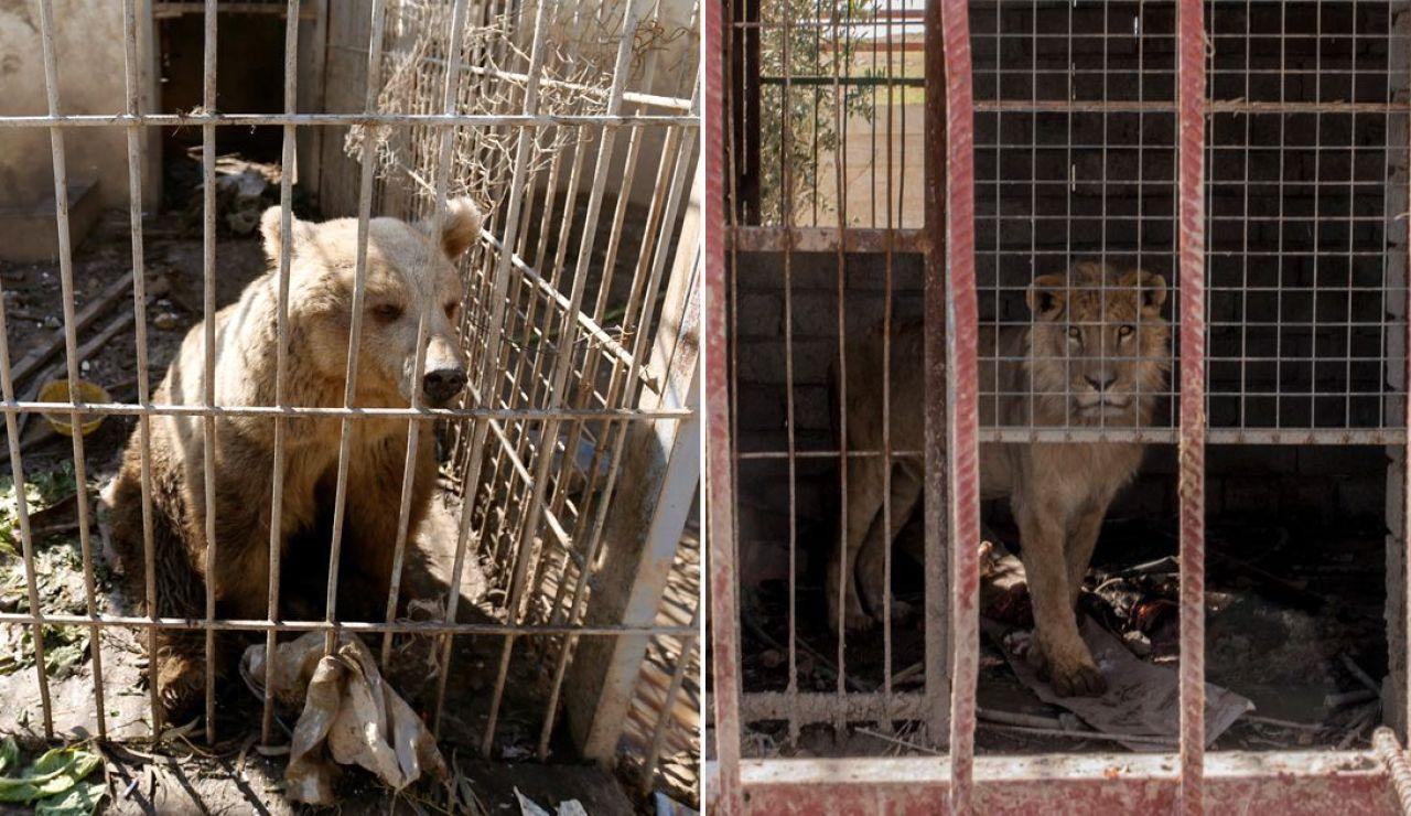 El león Simba y la osa Lola, únicos supervivientes del zoo de Mosul, vuelven a rugir tras meses de abandono
