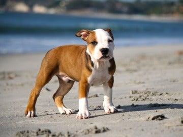 Cachorro de pitbull