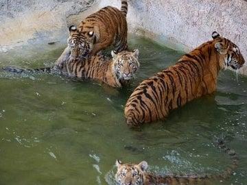 Tigres de Tierra Natura
