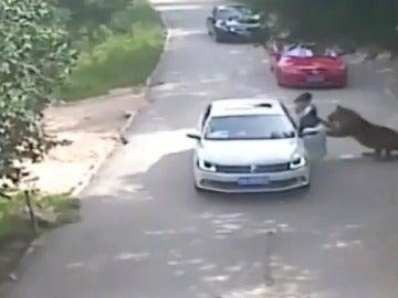Varios tigres matan a una mujer y hieren a una segunda en un safari de Pekín tras una discusión con el conductor