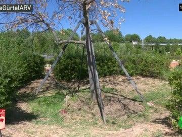 Muere el 'árbol de la Gürtel', un roble en el que Pozuelo de Alarcón gastó más de 104.000 euros
