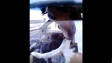 Perro tocando el claxon para avisar a su dueño