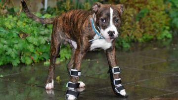 Bentley, el cachorro con las extremidades torcidas