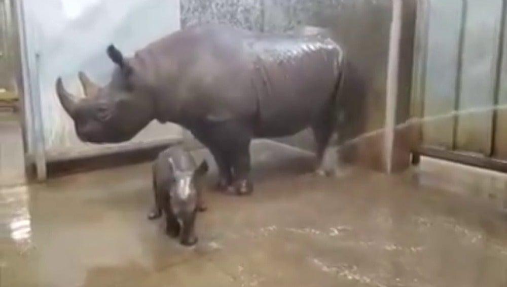 Frame 28.207214 de: Un vídeo que muestra el primer baño de un rinoceronte bebé conmueve al mundo