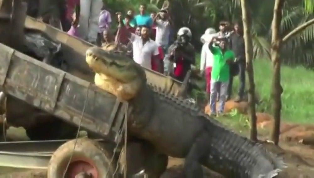 Frame 1.858575 de: Rescatan a un cocodrilo de cinco metros que se había quedado atrapado y lo devuelven al río