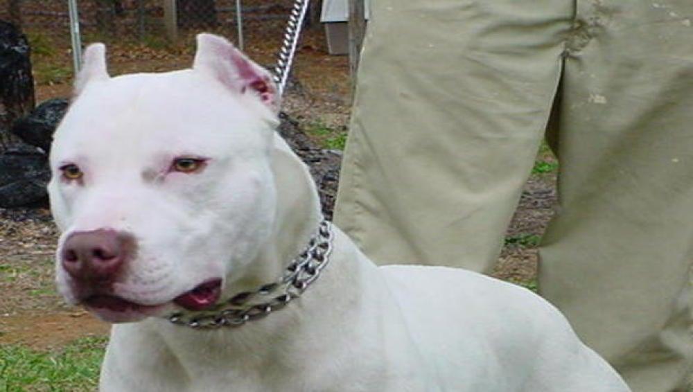 Los pitbull, considerados una raza peligrosa