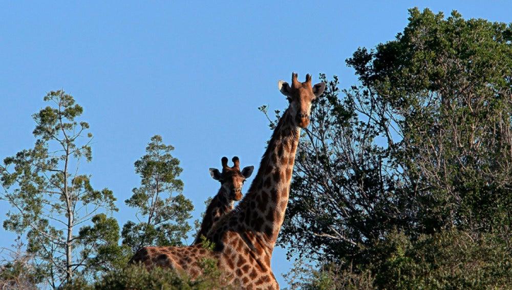 Dos jirafas en una reserva de Suráfrica