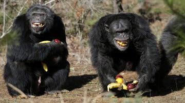 Chimpancés felices con fruta (21-02-2013)