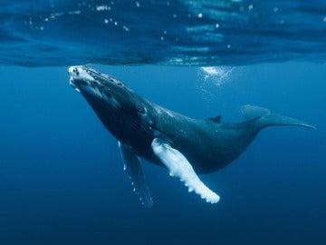 Imagen de una ballena azul