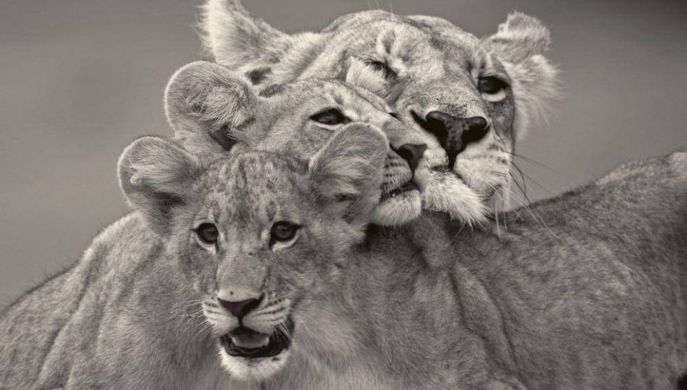 Una leona y sus cachorros
