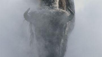 Un bisonte en la niebla en invierno, en el parque nacional de Yellowstone