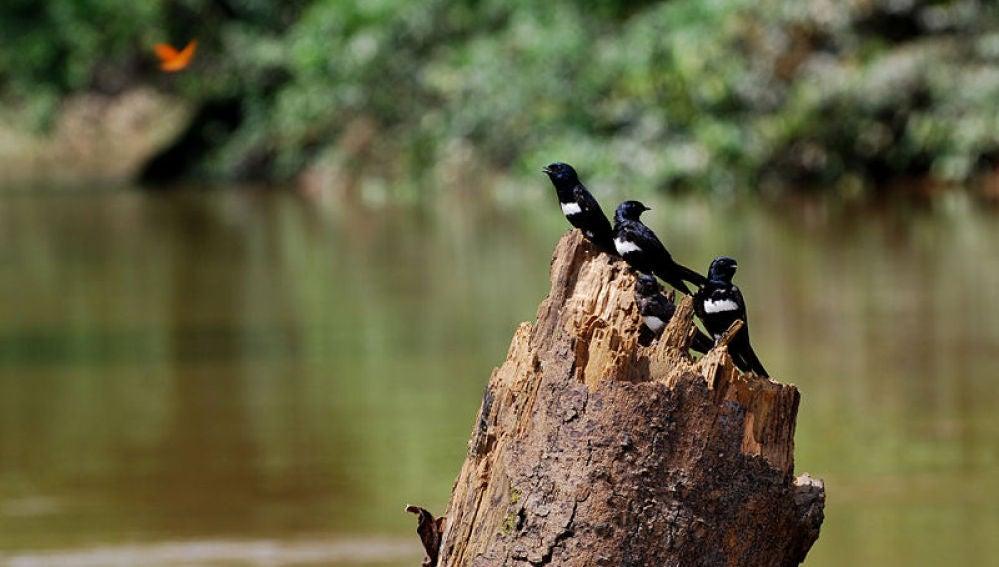 Golondrina franjiblanca en el Parque Nacional de Yasuní