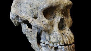 El cráneo hallado en Dmanisi