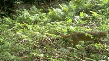 Existen muy pocas fotografías del gato de Borneo, un animal que se dio por extinto en 2003