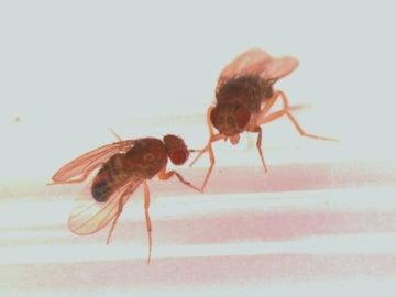 Dos moscas de la fruta en el laboratorio de Pletcher