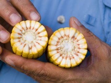 Maíz transgénico de Monsanto