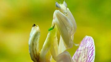 Mantis orquídea