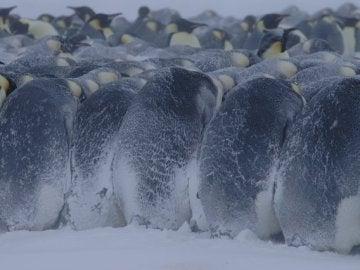 Un grupo de pingüinos emperador soportando temperaturas extremas