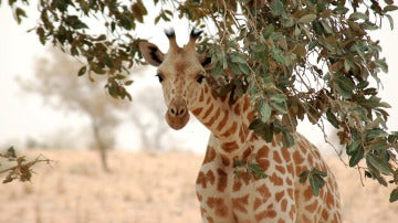Imagen de una jirafa de África Occidental