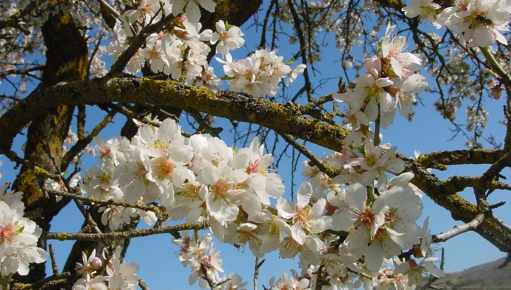 La floración del almendro depende mucho de cada año