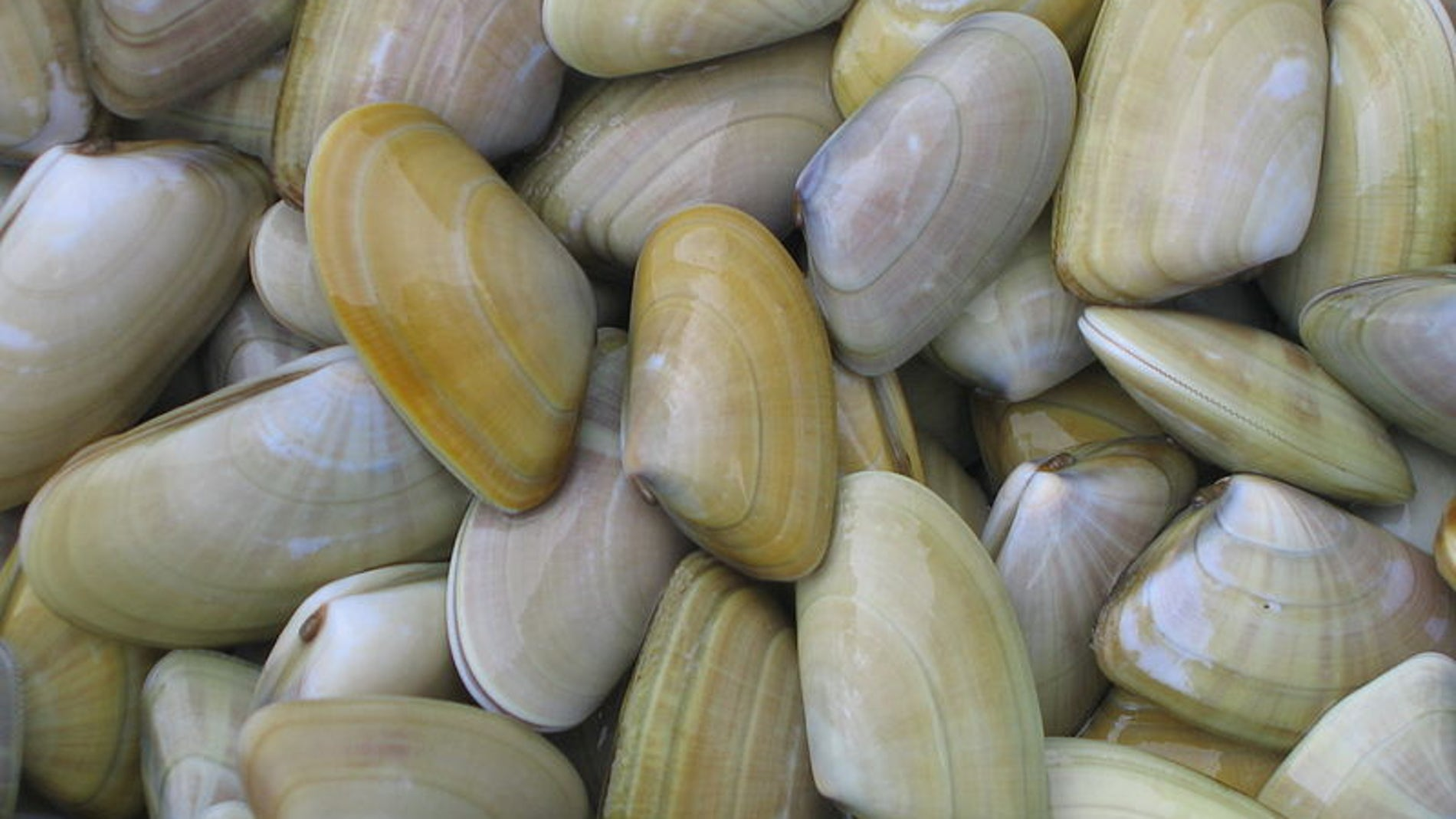 Donax trunculus, nombre común de las coquinas o tellinas