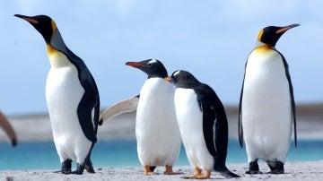 Varios pingüinos en grupo