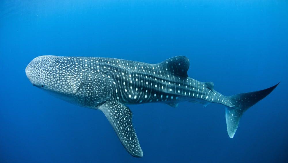 Un ejemplar de tiburón ballena en libertad.