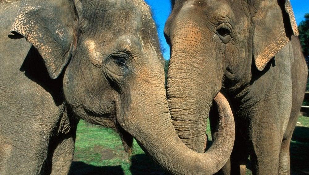 Muestras de consuelo entre elefantes
