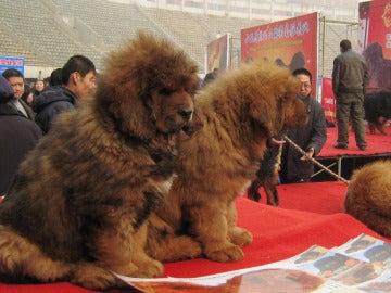 Mastines del Tíbet en una feria canina