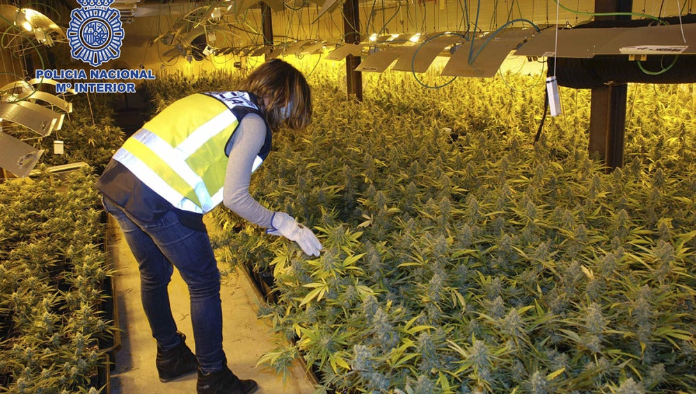 Nave habilitada para la producción industrial de marihuana donde se han intervenido más de 2.300 plantas