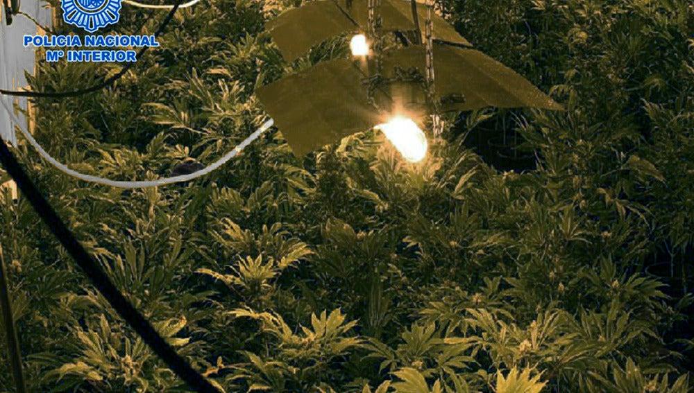 En la imagen, facilitada por la Policía Nacional, un cultivo de marihuana desmantelado