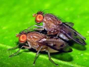 Dos moscas de la fruta apareándose.
