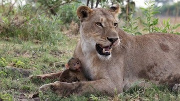 Leona y cría de babuino
