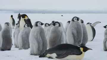 Los pingüinos, unas aves acuáticas muy singulares