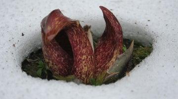 Misterioso círculo en la nieve, formado por una extraña planta