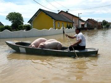 Un hombre lleva a unos cerdos sobre una barca en una calle inundada en la localidad de Orasje