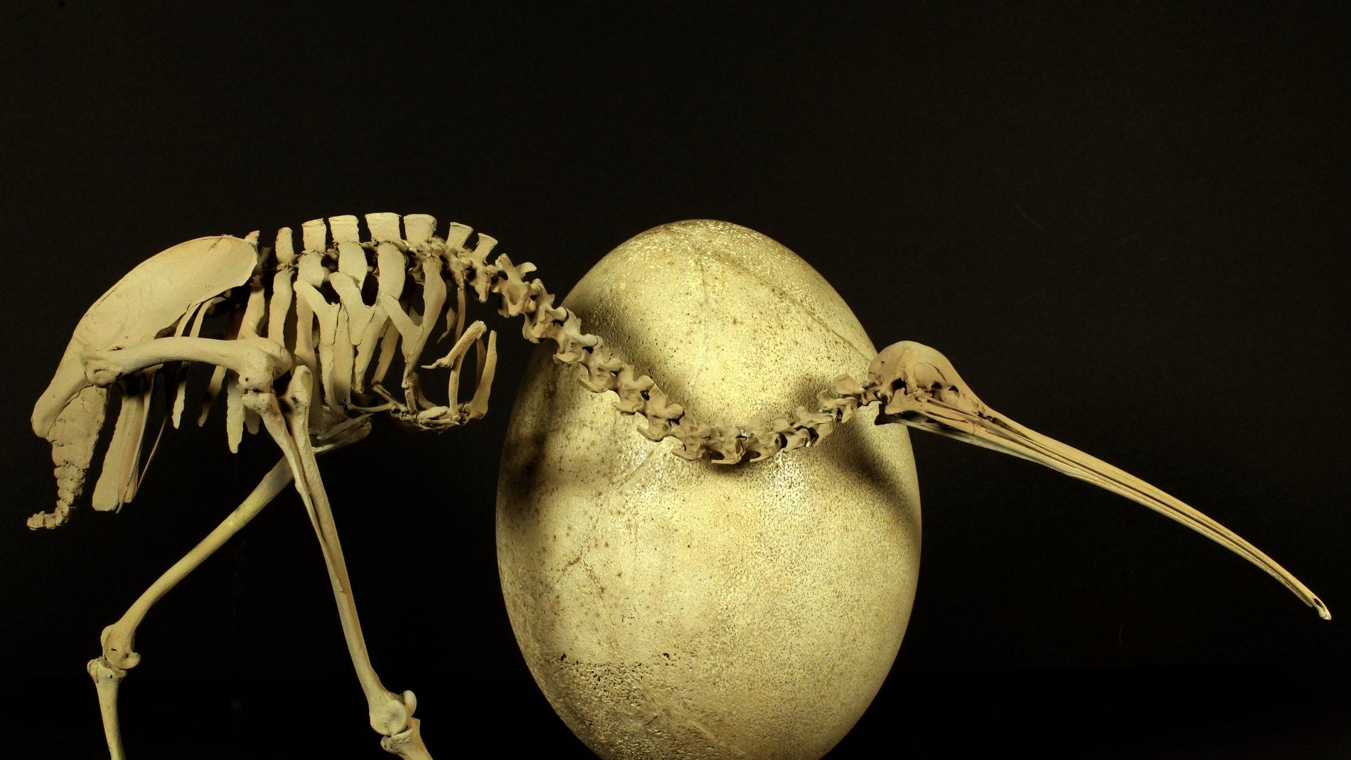 Un antecesor de las avestruces
