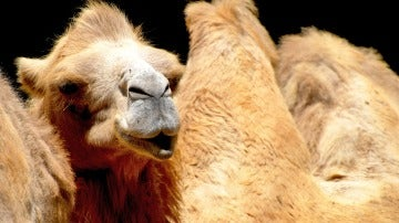Un camello lanzando un beso