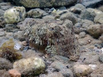 Una sepia común, camuflándose en el fondo marino