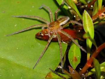 Una araña comiendo un pez