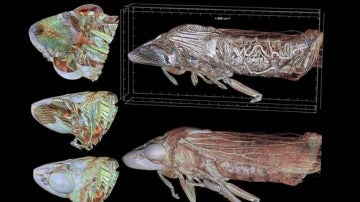La cigarrilla de alas cristalinas vista a través de un microtomógrafo